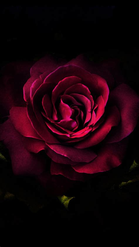 iphone wallpaper hd rose ilove the darkness of this rose the red the passion