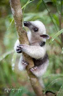 baby anteater wallpapers baby animals