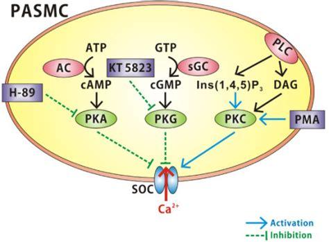 protein kinase g diagram highlighting protein kinase modulation of socs