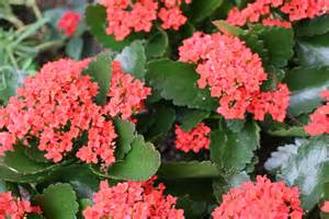 flowering succulent house plants www imgkid com the