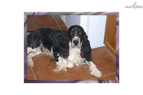 bench springer spaniel english springer spaniel puppy for sale near sierra vista