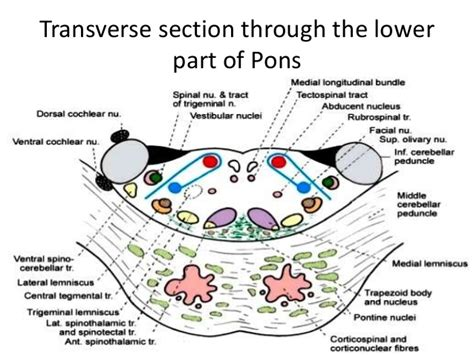 pons transverse section anatomy of brainstem and its clinical significance