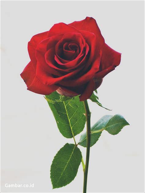 setangkai bunga mawar putih pesquisa google  collection