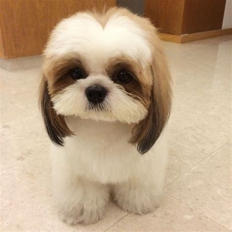 shih tzu hair styles 1000 images about shih tzu on pinterest maltese pets