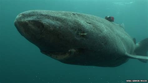 Greenland Sleeper Shark by Domain Of The C Rex The Lethargic Blind Poisonous