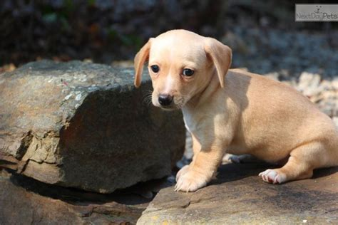 dachshund puppies tulsa chihuahua puppies for sale tulsa breeds picture