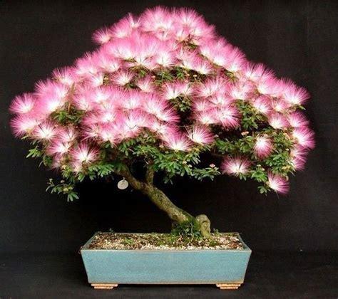Bonsai Pink 50 seeds mimosa albizia julibrissin flower silk bonsai tree pink ebay