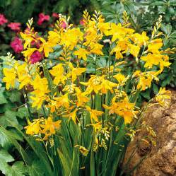 Crocosmia george davison 15 all bulbs flower bulbs gardening