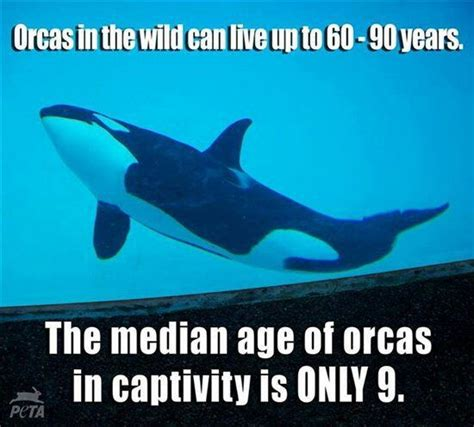 killer whale fluffy lifespan of orcas in captivity it s so fluffy i m