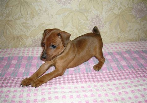 grey hound puppy rur grey hound info temperament puppies pictures