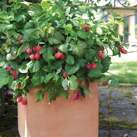 stark nursery fruit trees bushel and berry raspberry shortcake stark bro s nurseries