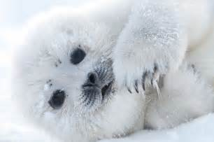 Cute polar seal wallpaper by hd wallpapers daily