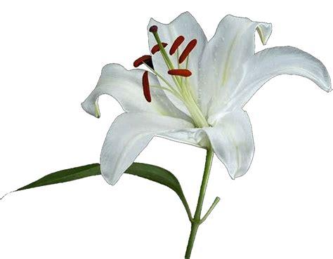 fiore giglio bianco il giglio