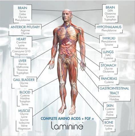 Fungsi Usa manfaat laminine untuk kesehatan bagi tubuh anda