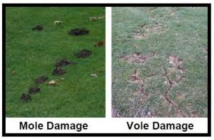 moles voles or shrews tuff turf molebusters