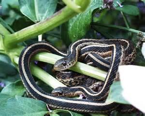 Garden Snake Missouri Animals In The Garden