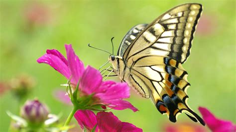 butterflies flowers http www hotcurrentaffairs butterfly flower