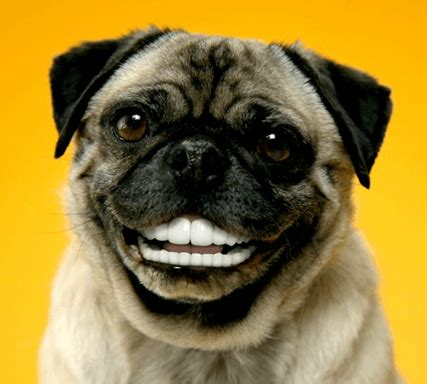 how to my pug puppy how to brush your pug s teeth grooming tutorial