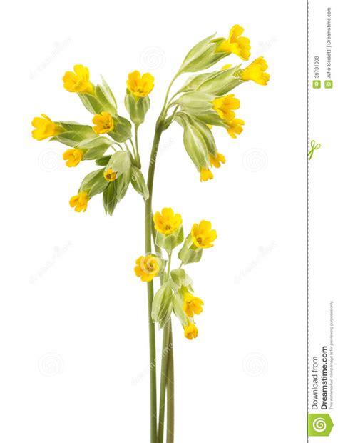 fotografie di fiori primavera fiori di primavera odorosa fotografia stock immagine