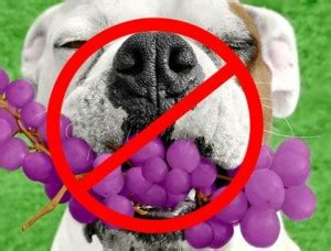 can dogs eat grapes just how dangerous are grapes for dogs siowfa15 science in our world certainty