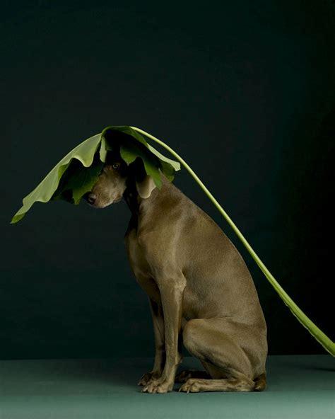 william wegman dogs dogs photography by william wegman