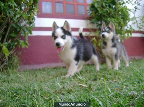 puppies for sale in salem oregon blue heeler puppies for sale salem oregon breeds picture