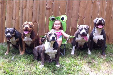 pitbull nanny pitbull pictures images and photos of american pitbull terrier pets world