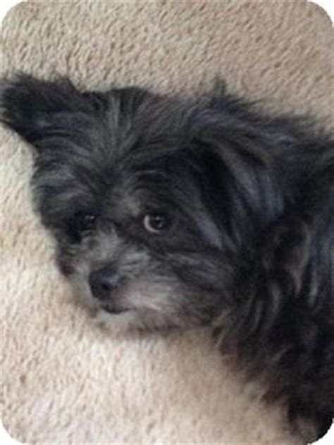 cairn shih tzu mix willow adopted plainfield il shih tzu cairn terrier mix