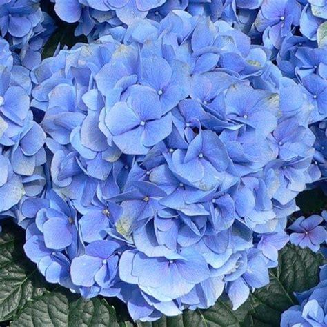 hydrangea blue mophead giant football sized flowers large plants