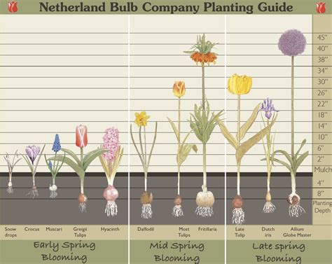 Planting Depth Bulb Garden Layout