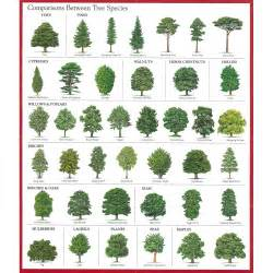 Christmas tree pine cone tree leaf identification guide leaf id guide