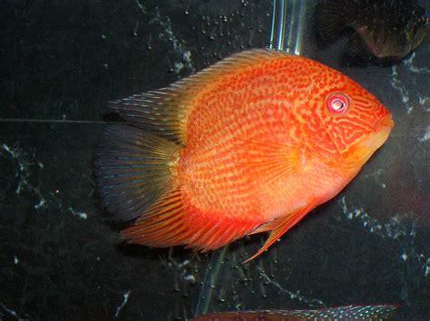 breeding red severum cichlid cichlids com 5 quot super red gold severum male