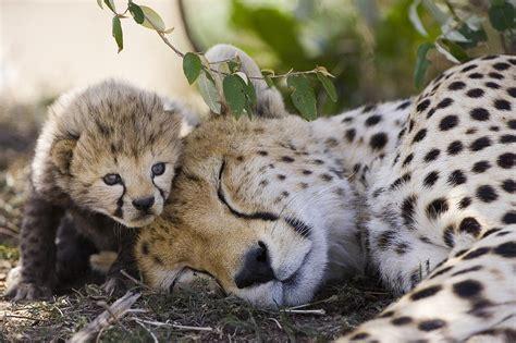 Cheetah Print Duvet Sleeping Cheetah And Cub Kenya Photograph By Suzi Eszterhas
