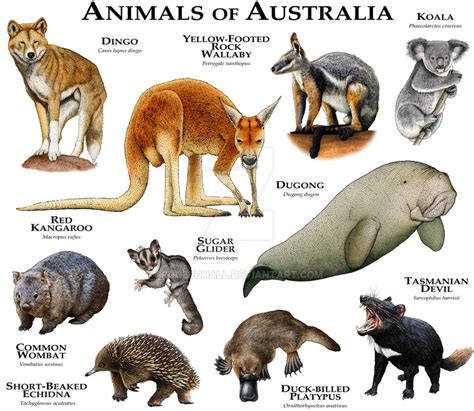 8 Animals From Australia Id To See by Australian Animals Related Keywords Australian