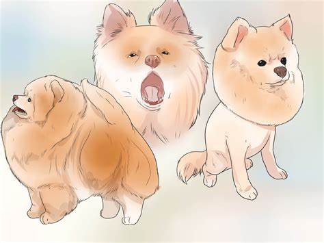caring for a pomeranian puppy how to buy a pomeranian 11 steps with pictures wikihow