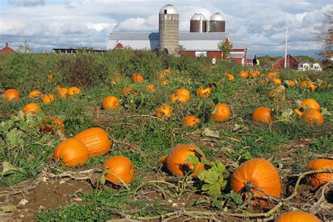 pumpkin patches your own pumpkins at our saratoga farm