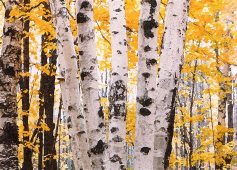 birch trees in the fall photograph by susan crossman buscho