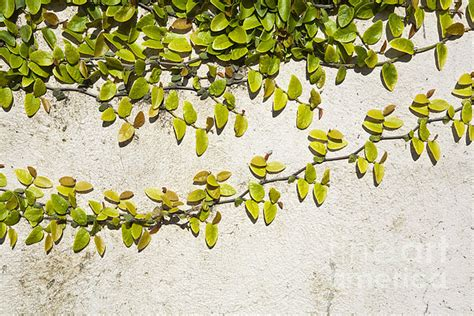 climbing vine on wall greeting card for sale by paul edmondson