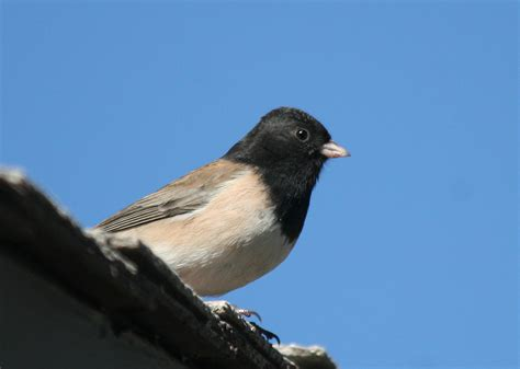 dark eyed junco junco hyemalis