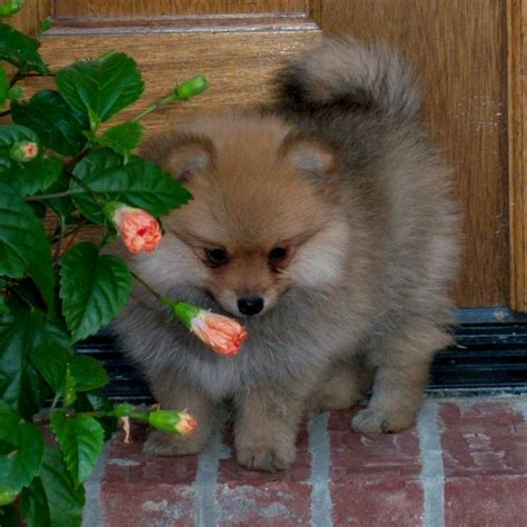 throwback pomeranian puppies for sale 17 best images about pomeranian spitz on cutest dogs puppys and
