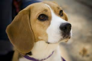 file beagle portrait camry jpg wikimedia commons