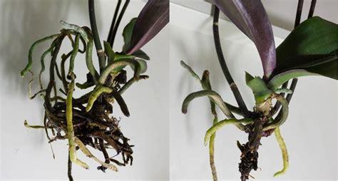 coltivazione orchidee in vaso coltivare orchidee orchidee come coltivare le orchidee