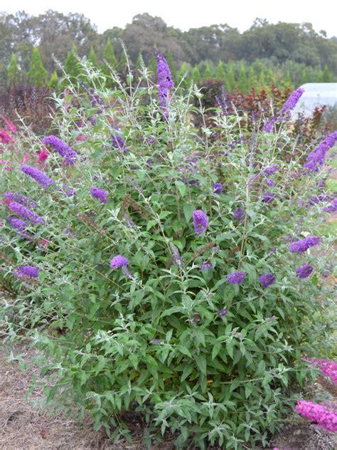 best sun flowering shrubs 14 flowering shrubs for sun hgtv
