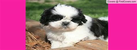 shih tzu covers shih tzu valentines wallpaper wallpapersafari