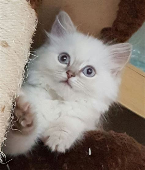 x ragdoll cat ragdoll x kittens all sold now coalville