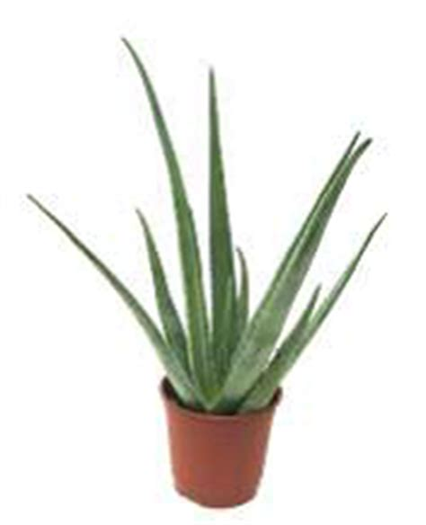 aloe in vaso aloe arborescens shop