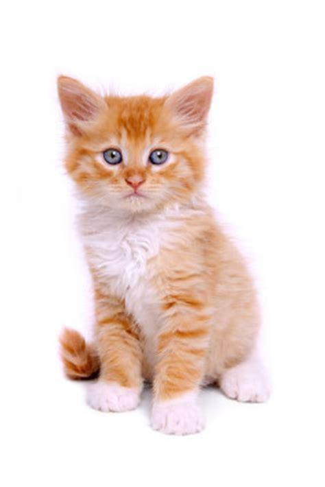 red cat wallpaper kota damansara algemene informatie kittens dierenartsencentrum ede bennekom