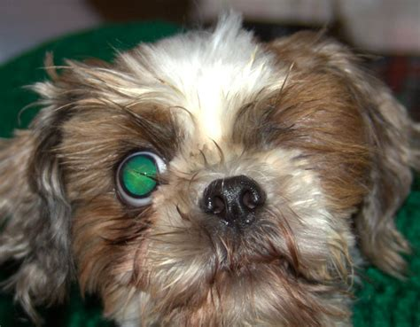 shih tzu around of the day for 3 2 2012 bae blind shih tzu dolan shih tzu