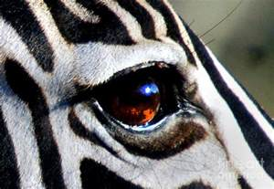 sunset reflected in zebra s eye photograph by alexandra