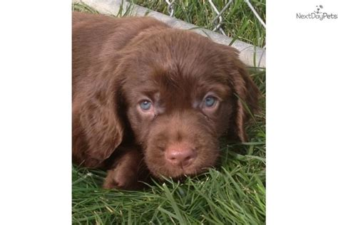 sussex spaniel puppies sussex spaniel puppy for sale near new hshire b1803641 7aa1